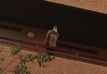 Un buitre leonado descansando en un balcón de Zaragoza